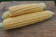 Sweet Corn - Golden Bantam 12-Row Improved