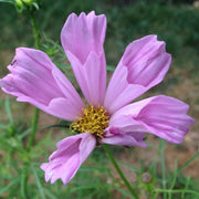 Cosmos - Seashell Mix - Sow True Seed