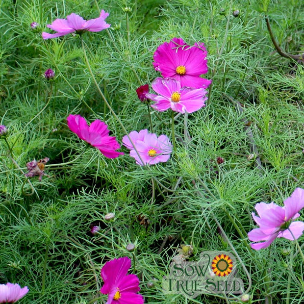 Cosmos -Sensation Mix - Sow True Seed