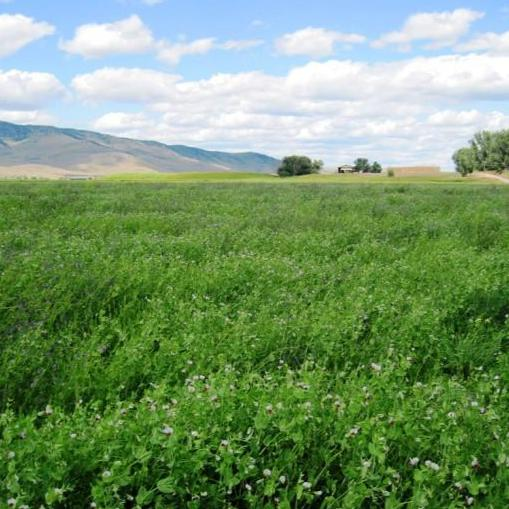 Cover Crop - Austrian Winter Pea - Sow True Seed