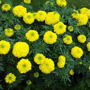 Marigold - Crackerjack - Sow True Seed