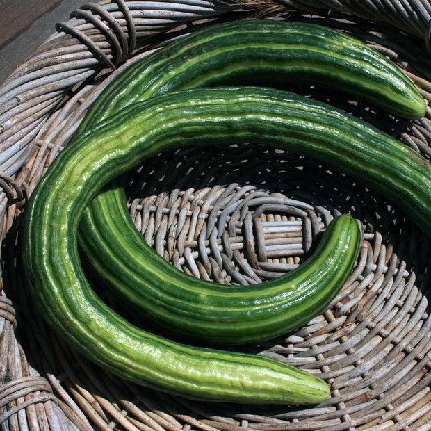 Organic Heirloom Armenian Slicing Cucumbers