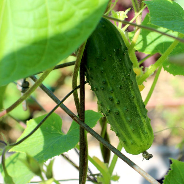 Pickling Cucumber seeds - Arkansas Little Leaf | Sow True