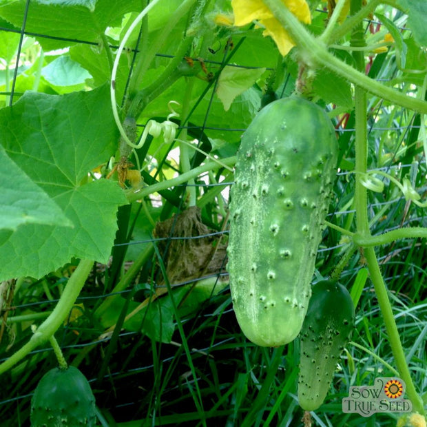 Cucumber - Boston - Sow True Seed