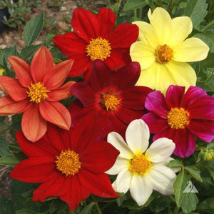 "Dahlia seed - Single Mix : Single blooms with traditional ""daisy"" look in many colors."