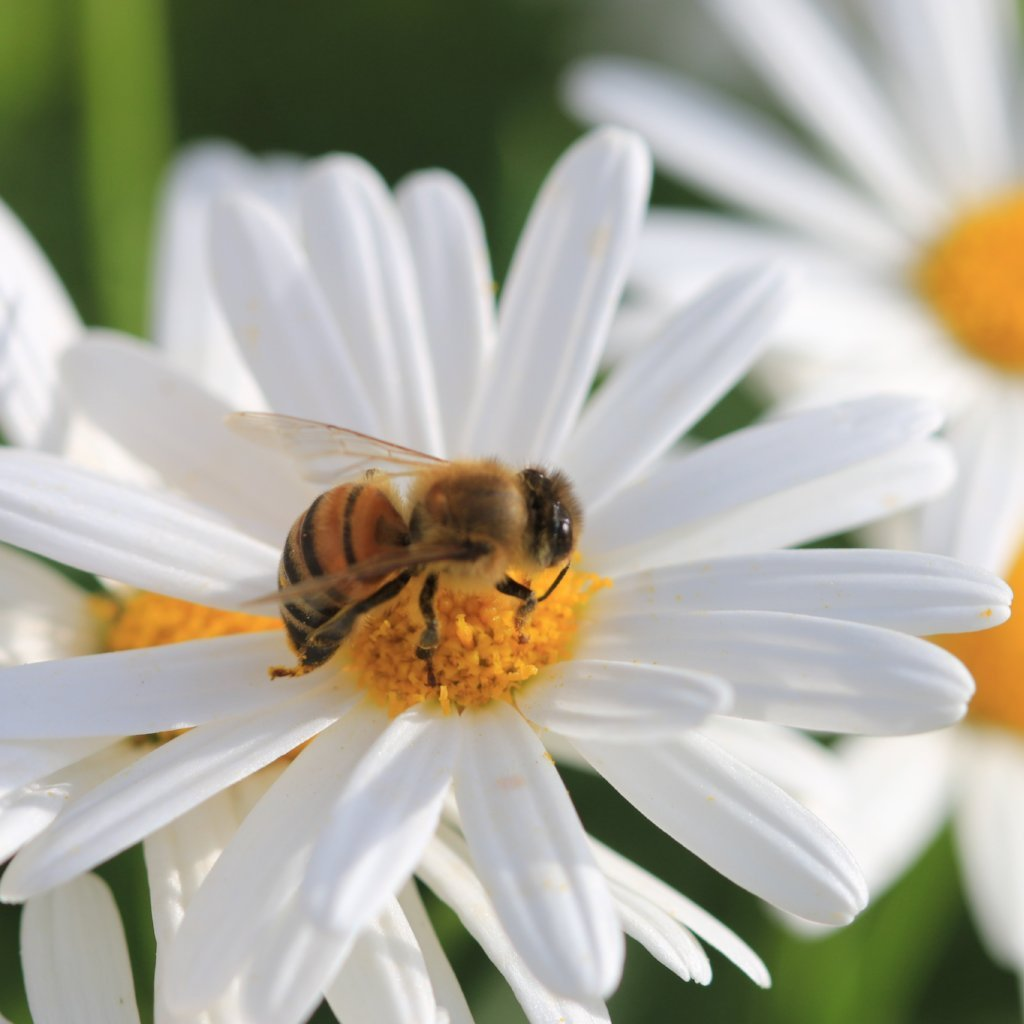Daisy seed - English Single White : Bright white petals surround a cheery yellow center.