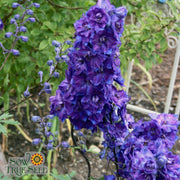 Delphinium - Larkspur Giant Imperial Mix - Sow True Seed