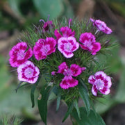 Dianthus - Sweet William Single Mix - Sow True Seed
