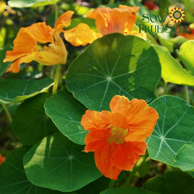 Nasturtium - Dwarf Jewel Mix - Sow True Seed