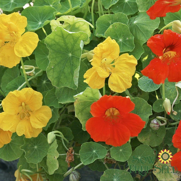 Nasturtium seed - Dwarf Jewel Mix: Edible flowers with peppery watercress flavor.