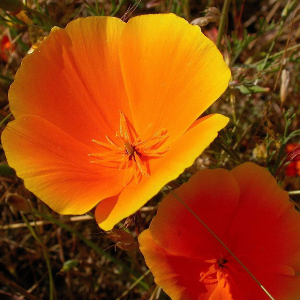 Poppy seed - California Poppy : Silken orange flowers atop ferny foliage.