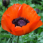 "Poppy seed -Oriental : Tall plants bear 3-4"" red-orange blossoms with purple centers."