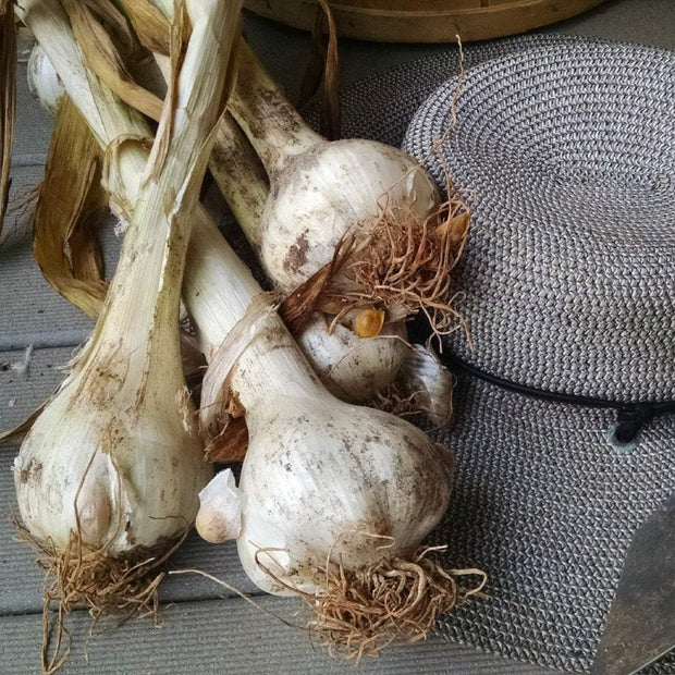 Elephant Garlic - Elephant - Sow True Seed