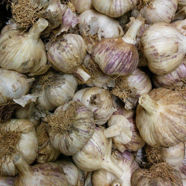 Hardneck Garlic - German Red, ORGANIC - Sow True Seed
