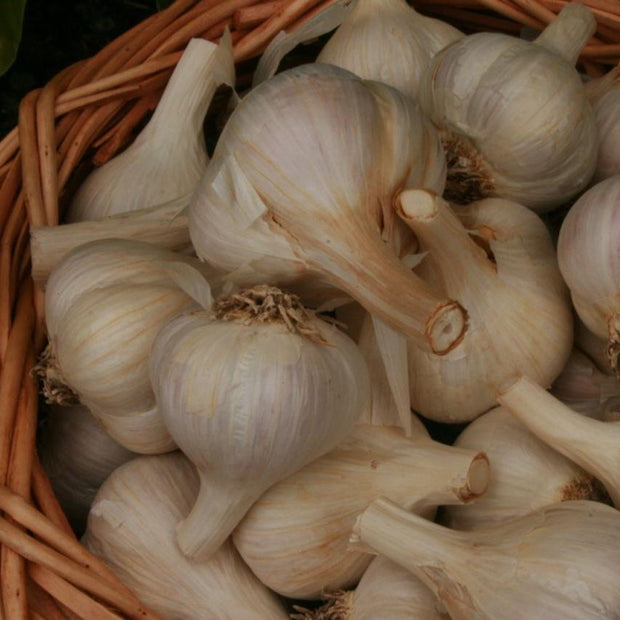 Hardneck Garlic - Georgian Fire - Sow True Seed