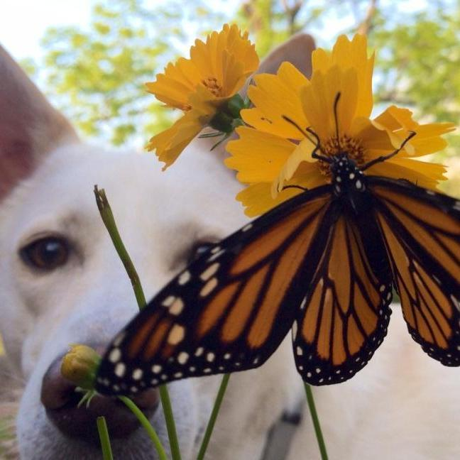Flower Mix - Monarch Butterfly : Full of nectar plants that butterflies love.