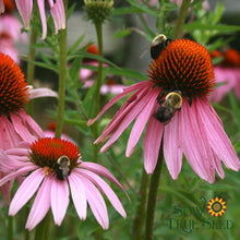 "Echinacea seed - Purple Coneflower : 3"" rose-purple flowers with attractive center."