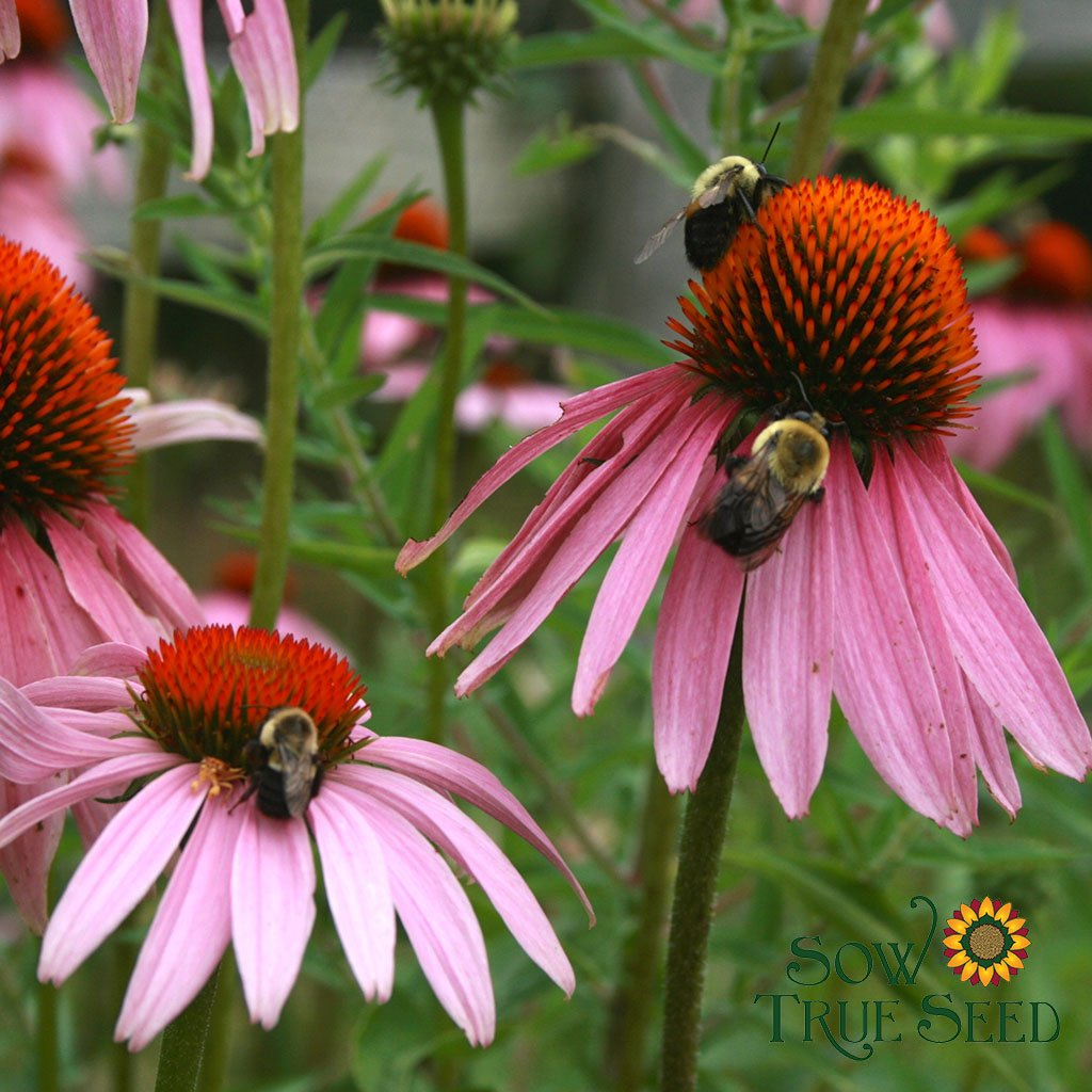 Echinacea seed - Purple Coneflower : 3