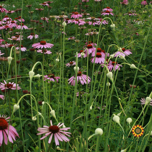 Echinacea - Purple Coneflower - Sow True Seed