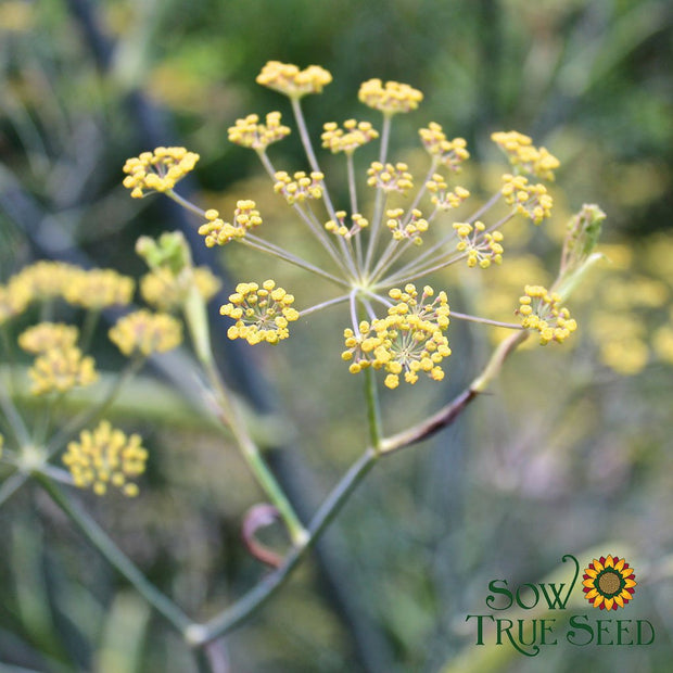 Fennel - Florence - Sow True Seed