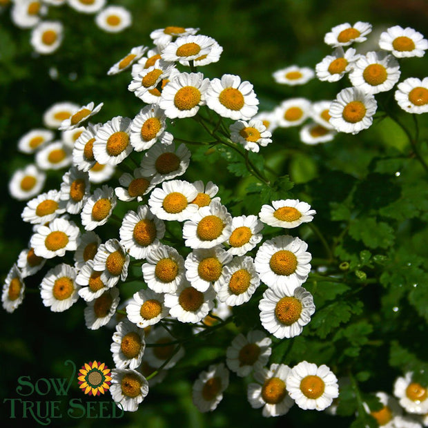Herb seed - Feverfew : many uses as herbal remedy, grows 2' tall with citrus-scented leaves and daisy-like flowers.