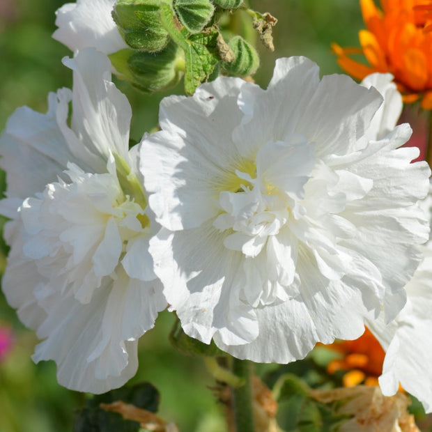 Hollyhock seed - Charter's Double Mix : A cottage garden classic.