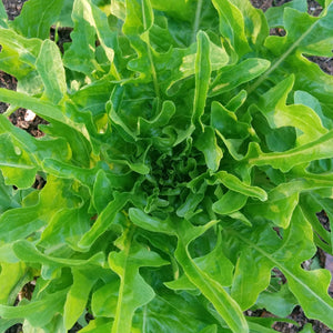 Green Oakleaf Lettuce - beautiful and delicious baby leaf lettuce.