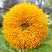 Sunflower - Teddy Bear - Sow True Seed
