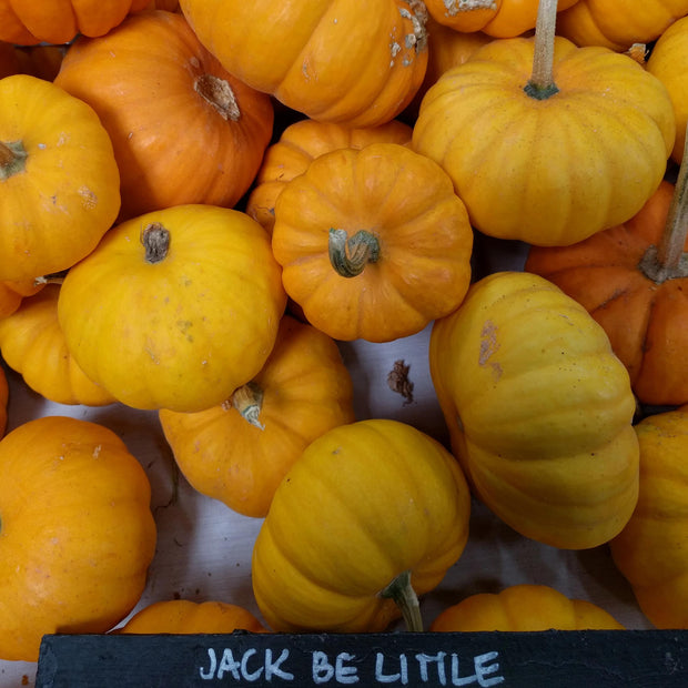 Pumpkin - Jack-B-Little - Sow True Seed