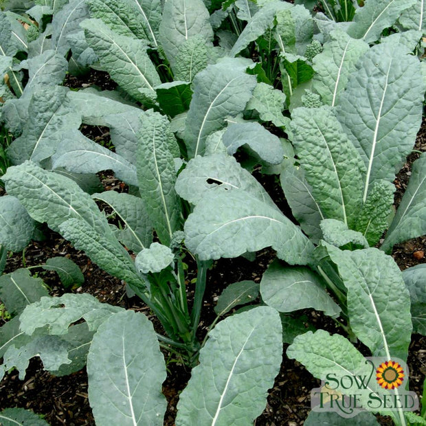Kale seeds, Heirloom Lacinato, Dinosaur kale, savoyed leaves, cool season green