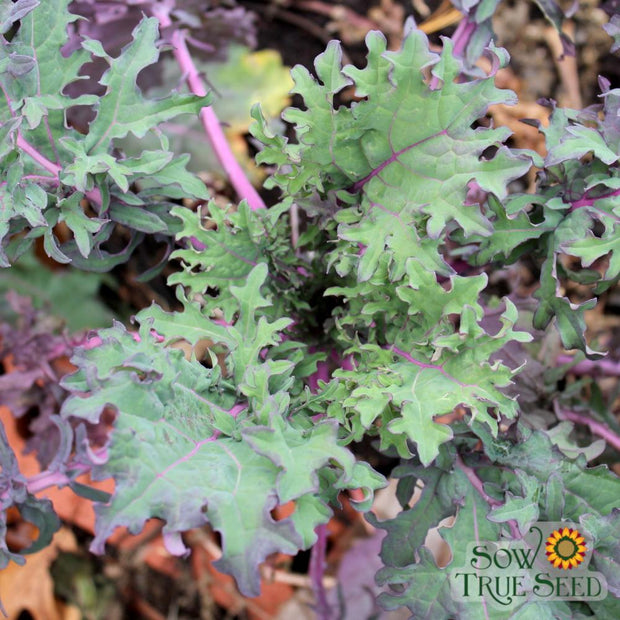 Heirloom Red Russian kale seeds, cool season greens, Brassica seeds
