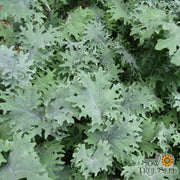 Kale Seeds | Red Russian | Heirloom | Open- Pollinated |
