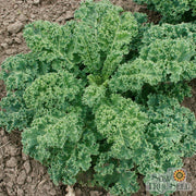 Kale seeds | Vates, Blue Curled Scotch | Organic | Sow True Seed |