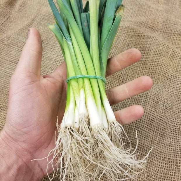 Leek Starts | Lancelot | Bunch of 25 starts for spring planting