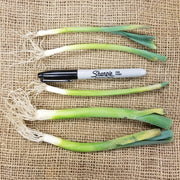 Leek Starts - Lancelot - Bunch of starts for spring planting - thickness