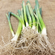 Leek Starts - Lancelot - Bunch of starts for spring planting - roots