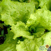 lettuce seed | Black seeded simpson lettuce | Heirloom |Organic | Sow True Seed |