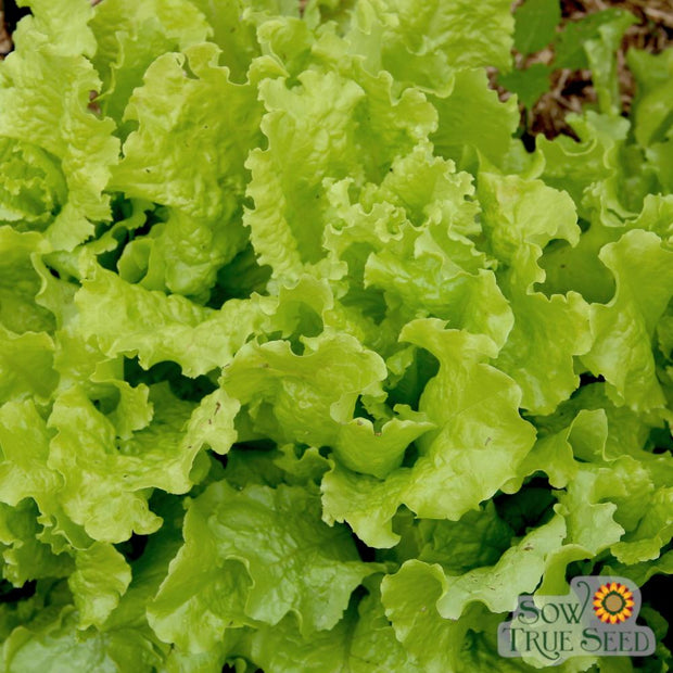 Lettuce - Black Seeded Simpson, ORGANIC - Sow True Seed