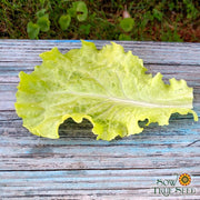 Lettuce - Black Seeded Simpson, ORGANIC