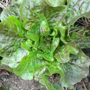 Slow bolting and heat tolerant heirloom lettuce seed, Bronze Mignonette