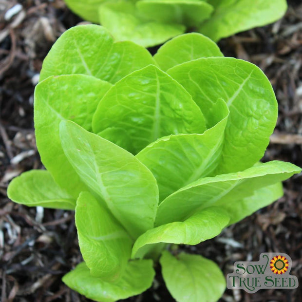 Organic Jericho Romaine Lettuce seeds are crisp and sweet even in high summer heat.