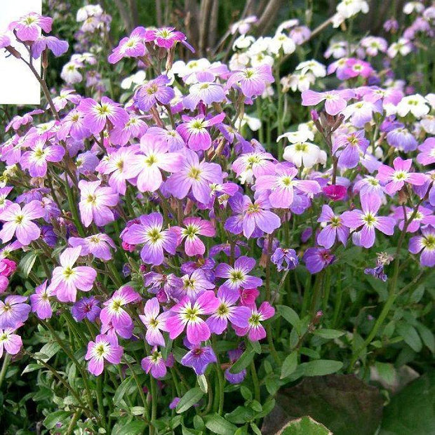 Stock seed - Virginia Stock : Easy to grow fragrant four petal flowers.
