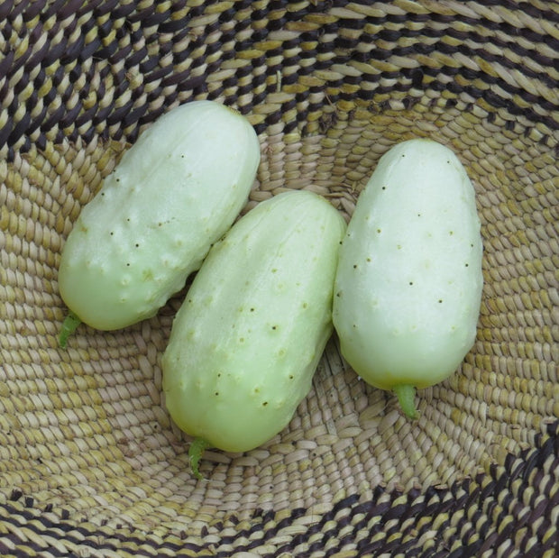 Pickling Cucumber - Miniature White Pickle - Sow True Seed