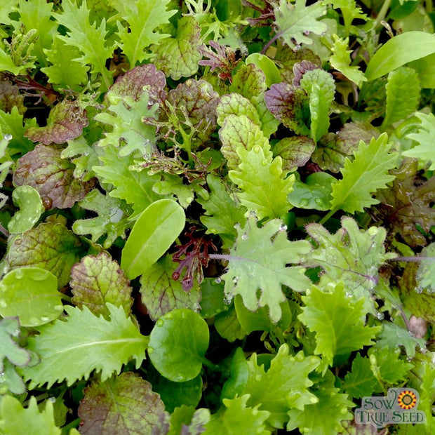 Mixed Greens - Spicy Mesclun Mix - Sow True Seed