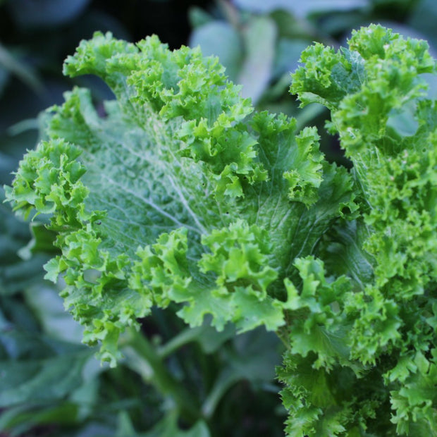 Mustard Greens seeds-Greenwave, Heat tolerant green leaves that are spicy but mellow with cooking
