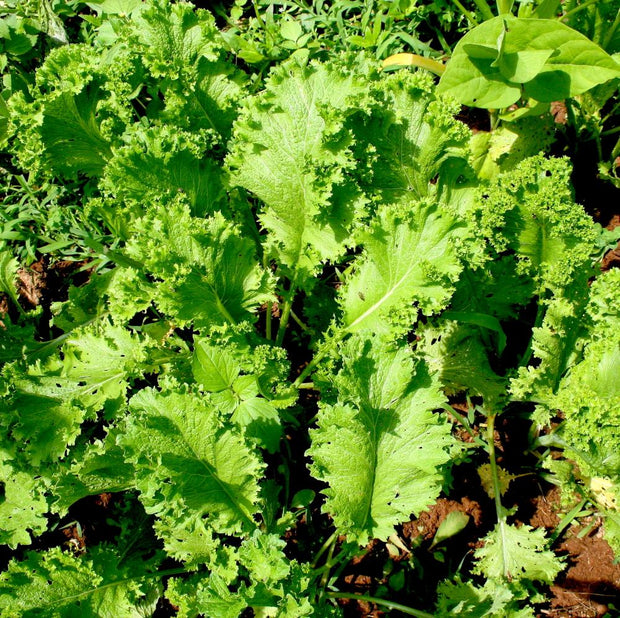 Mustard Greens seeds- Southern Giant Curled slow-to-bolt and cold tolerant most common mustard greens.