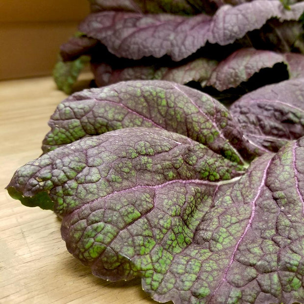 Giant Red Heirloom Mustard Greens