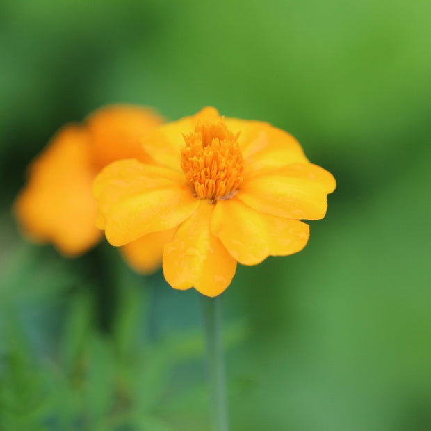 Marigold - Nematocidal - Sow True Seed