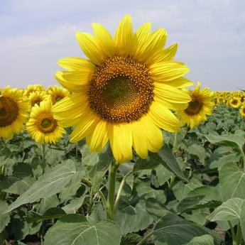 Cover Crop - Oilseed Sunflower : Reduces pest problems.
