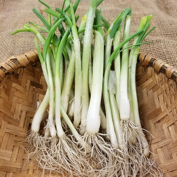 Onion Starts, Pre-Order- Texas Early White - Short Day - Heirloom